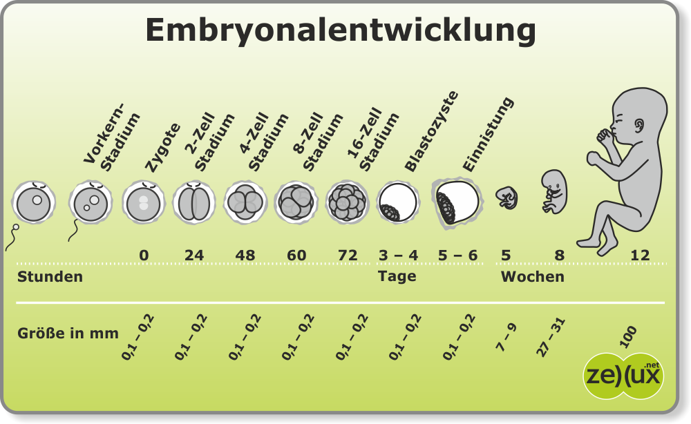 zellux.net: Frühe Embryonalentwicklung