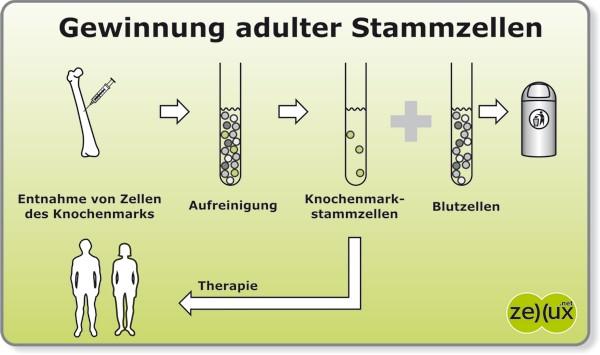 Adulte Stammzellen erneuern den Körper -