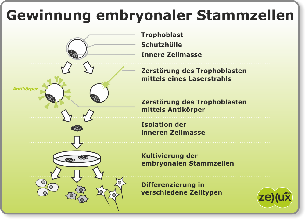 Stammzellen Referat